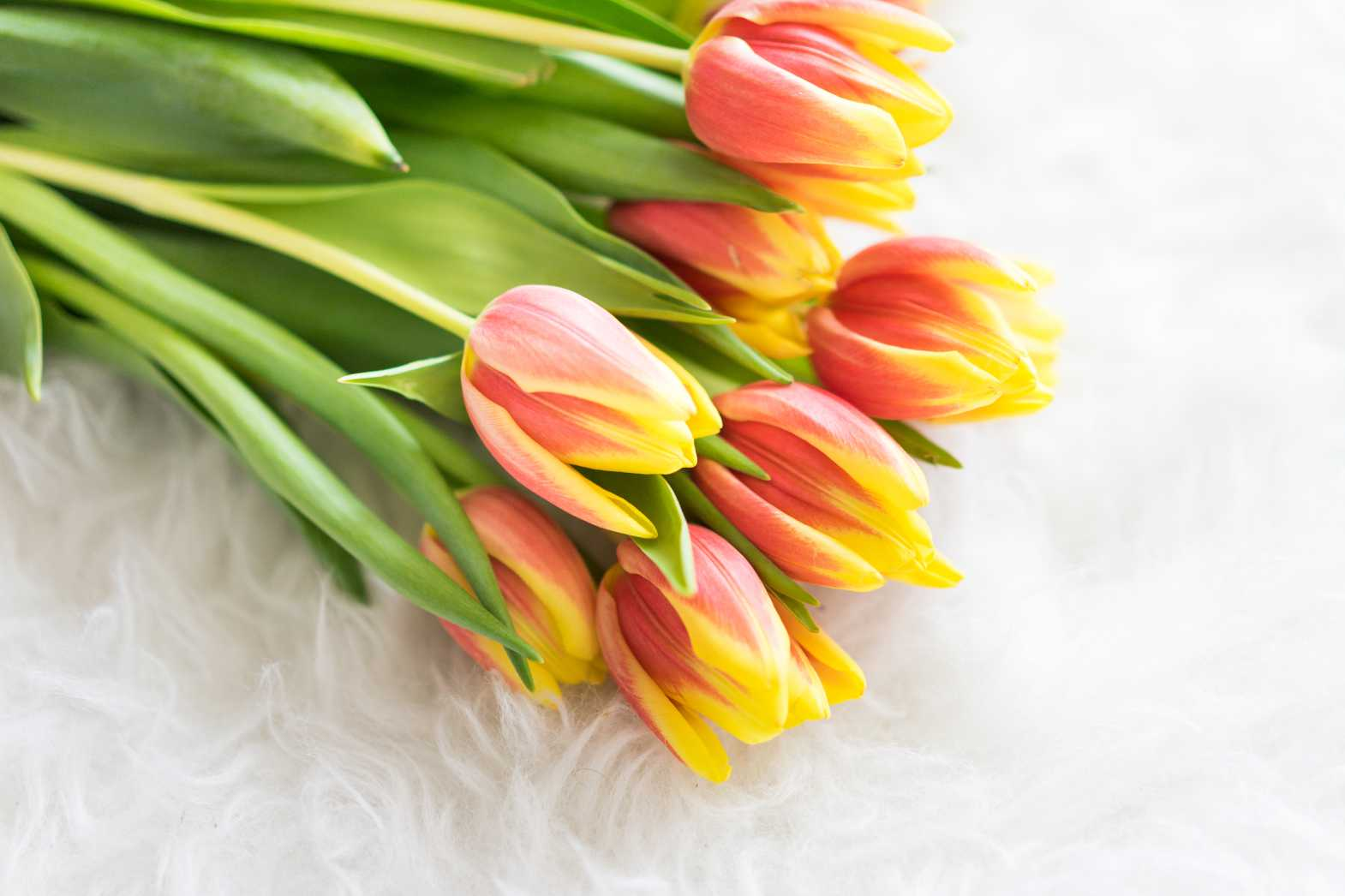 bouquet of kees nelis tulips on white synthetic pelt free stock photos picjumbo.com  - Valentýnské fotografie zdarma – picjumbo.com
