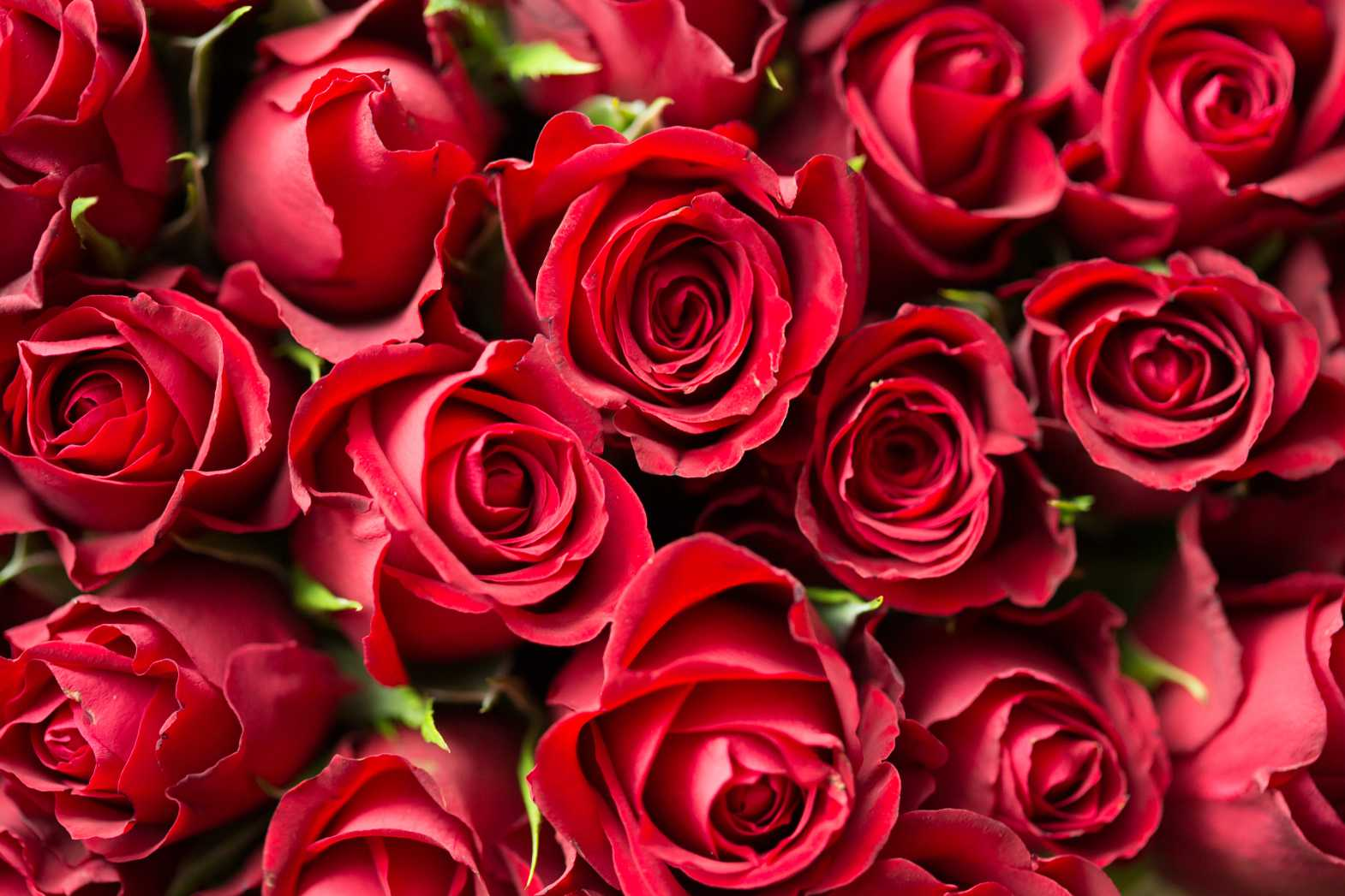 valentines day red roses close up free stock photos picjumbo.com  - Valentýnské fotografie zdarma – picjumbo.com