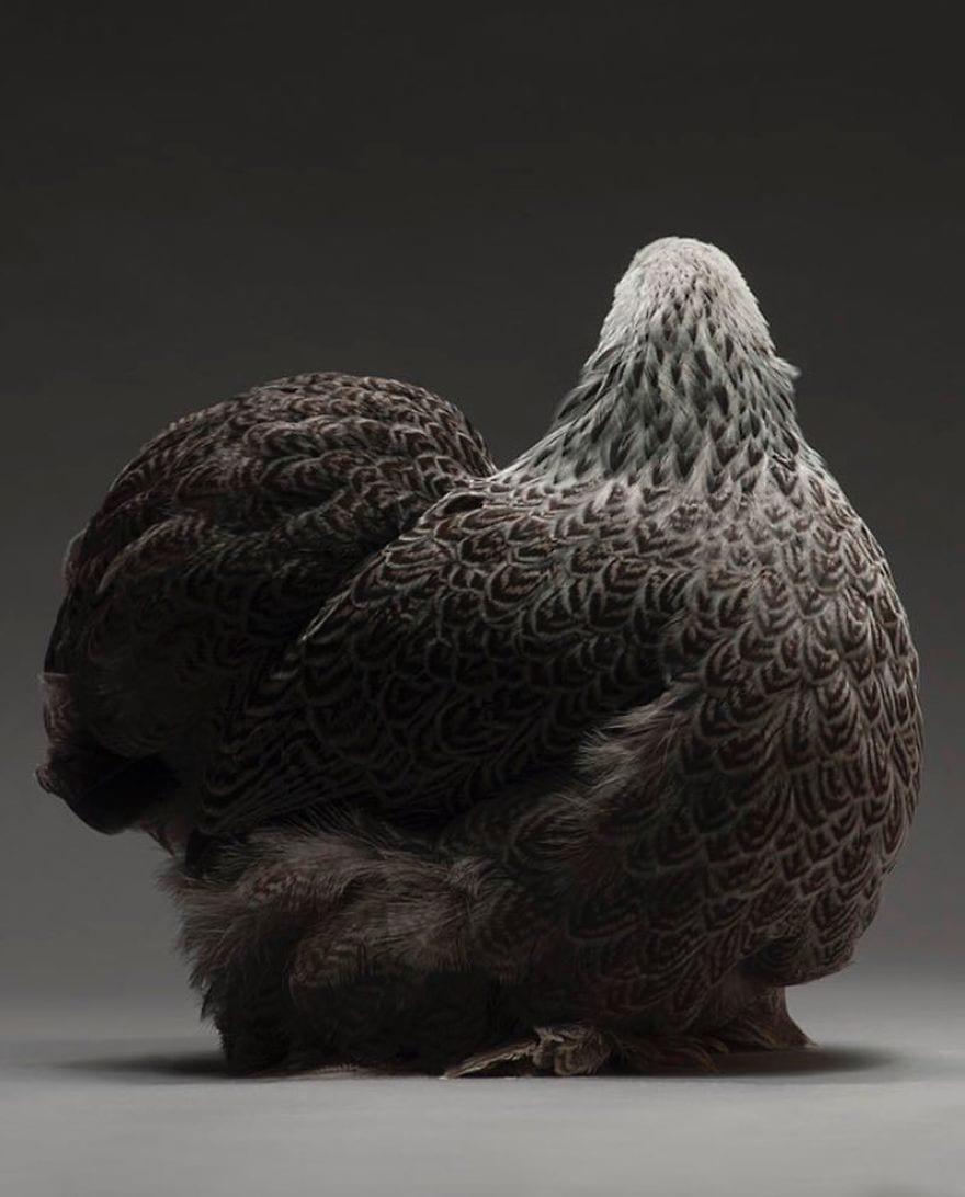 BZLHfRrg ZB png  880 - Zbierka najkrajších sliepok a kohútov, ktoré vám vyrazia dych!