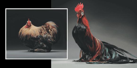Back toBlack 580x290 - Zbierka najkrajších sliepok a kohútov, ktoré vám vyrazia dych!