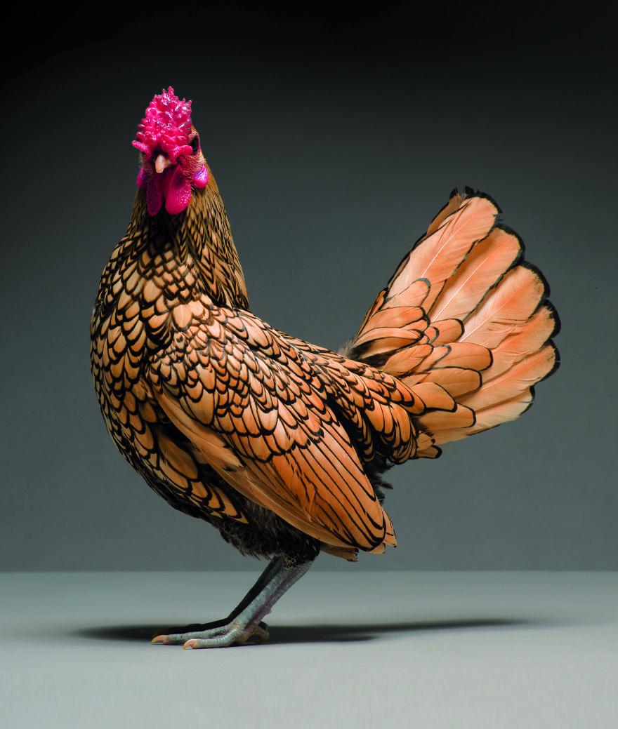 Chickens are just stunning 5a97d325f2ff7  880 - Zbierka najkrajších sliepok a kohútov, ktoré vám vyrazia dych!